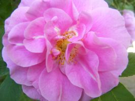 pretty pink rose by BlueIvyViolet