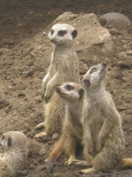 meerkats by typsy-gypsy