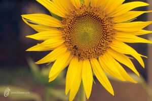 Sun Flower and Honey Bee by fahadee