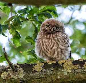 Little Owl by AngelsOdyssey