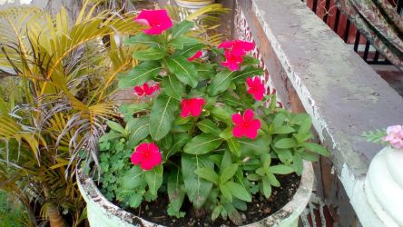 Hot Pink Periwinkles 1 by Anisa-Mazaki