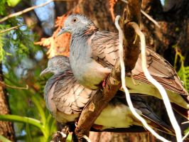 Bar-shouldered doves by Mike-Kossi