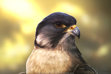 The Peregrine Falcon - 2016 by Kairi292