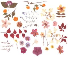Pressed flowers stock 2 by Rocktuete