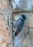 Black Backed Woodpecker - Female by JestePhotography
