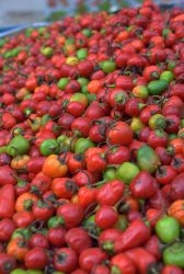Colorful Peppers 15513772 by StockProject1