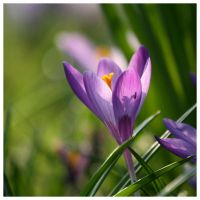 Crocus by bulletinthegun