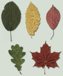 Leaves 01 - Stock by BaB-Jane