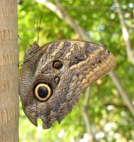Owl Butterfly by Simbas-pal