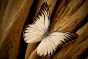 white butterfly by akuegi