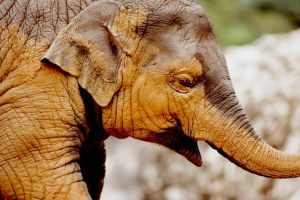 elephant by Art-Photo