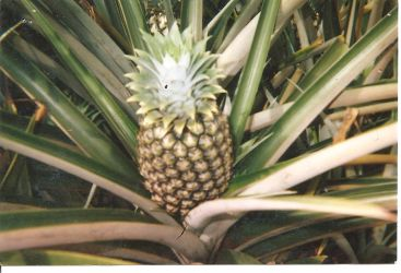 a pineapple by Emilimily