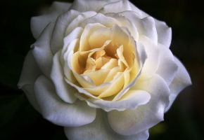 White Rose by Sarah902