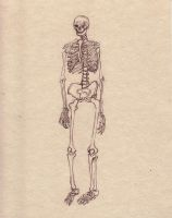 skeletal study- front by drewisgenki