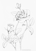 Rosa sp. by Alithographica