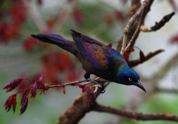 Grackle in May by barcon53