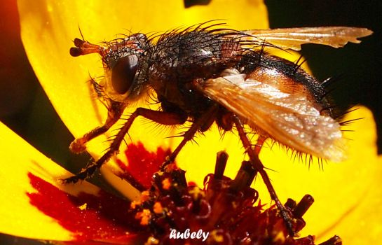 Mouche4 by hubely