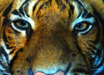 Eye of the Tyger by Althytrion