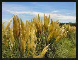 Pampas Blooms by renaissanceman3