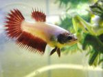 Female Crowntail Betta by copperarabian