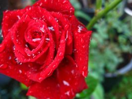 A Rose For Every Heart by Saston
