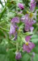 Purple Flower Drops by BreeSpawn