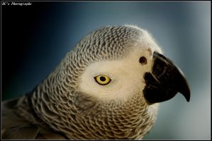 African grey parrot. by limacuan