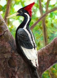 Ivory Billed Woodpecker by Tstar7