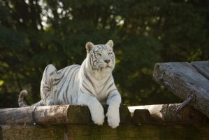 Stukenbrock 14 . Tiger 009 by Dark-Wolfs-Stock