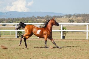 GE arab pinto shoulders down stopping canter by Chunga-Stock