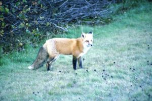 Red Fox by Lone---Wolf