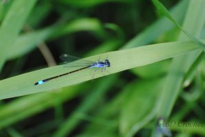 Blue dragonfly by ABDCrochet