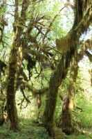Hoh more Moss Trees 6 by seancfinnigan