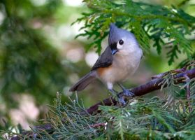 Tufted Titmouse 2 by rctfan2
