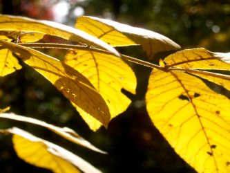 Yellow Leaves by MissMinded