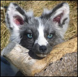 Arctic Marble Fox by Tricksters-Taxidermy