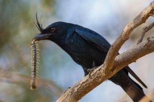 Crested drongo (Dicrurus forficatus) with a snack by Azph