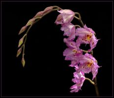 LOVELY MORNING ORCHIDS by THOM-B-FOTO