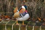 Mandarin Duck #7 by emilybee