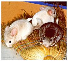 Chinchilla broom hogging by Villa-Chinchilla