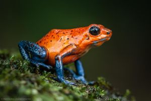Blue Jeans Frog (oophaga pumilio) Costa Rica. by MCN22