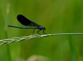 Dragonfly by lica20