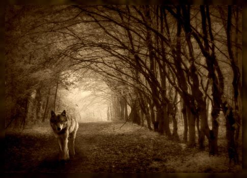 Photomanipulation wolf in forest by myka-wolf