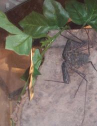 Tailess Whip Scorpion by Alkaline-Lady