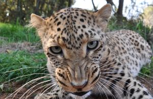 Selati the leopard is angry... by Kridah