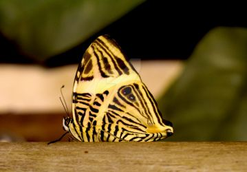 Striped Butterfly by KalitheArtist