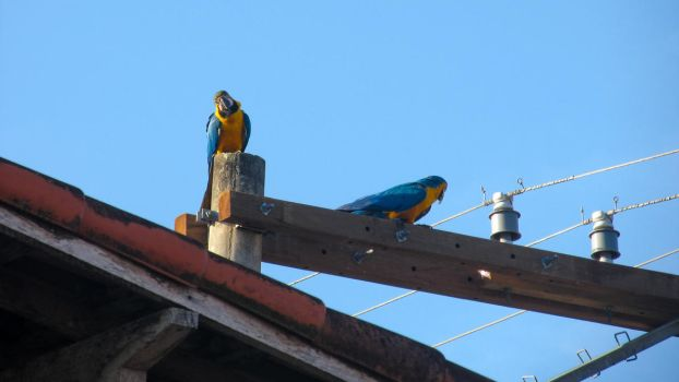 Blue-and-yellow macaws 01 by jadersol