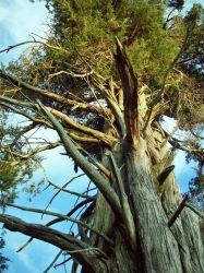 Old Conifer by serenawaters