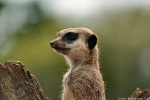 Meerkat Lookout by Lunapic
