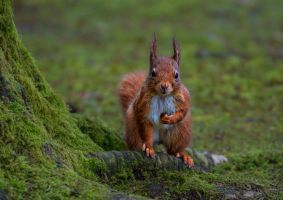Red Squirrel 3 by KlikitiKlik